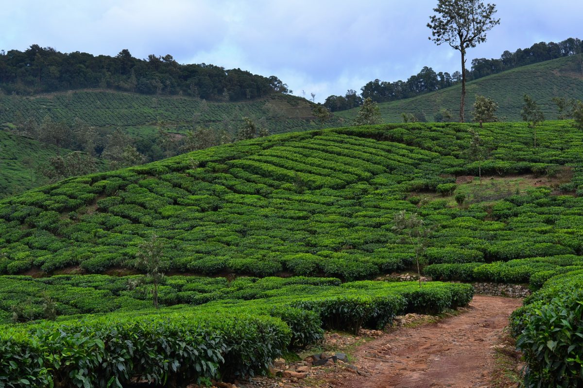 Tea estates at Kadamane Sakleshpur
