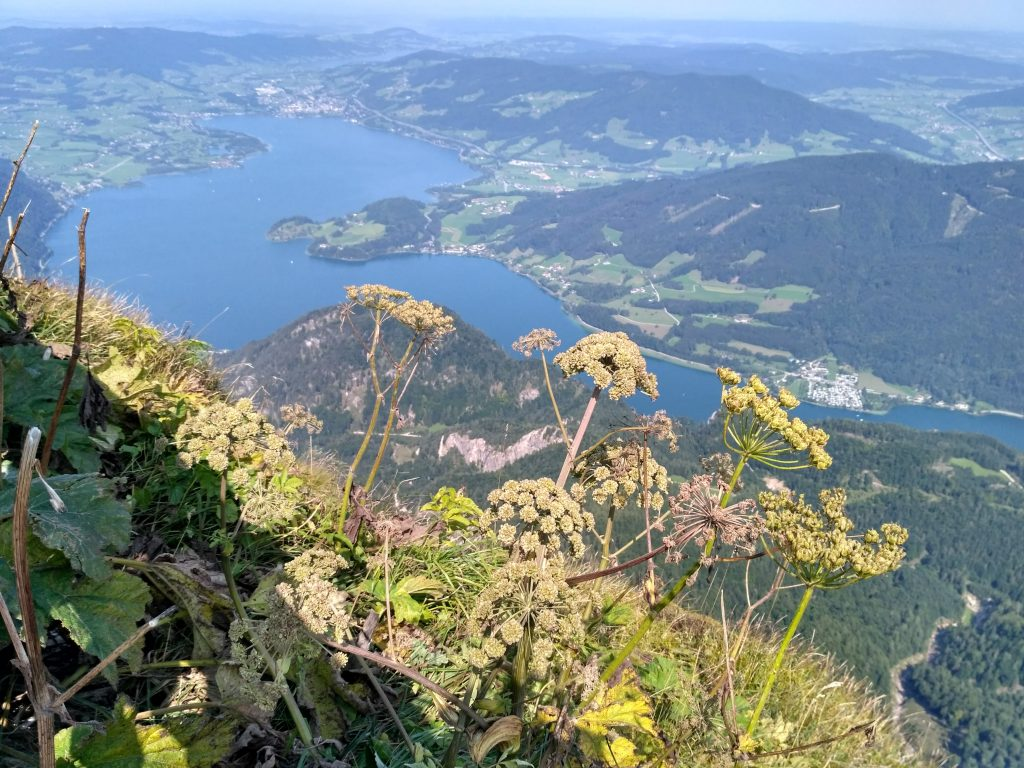 Wild flowers blooming atop the Schafberg overlooking the Mondsee
