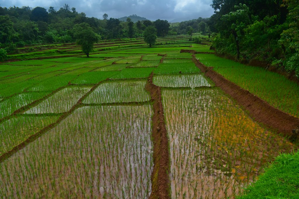 Paddy fields in Goa