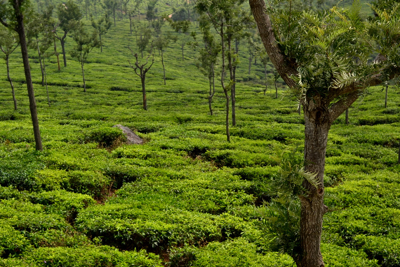 Tea estates of Wayanad