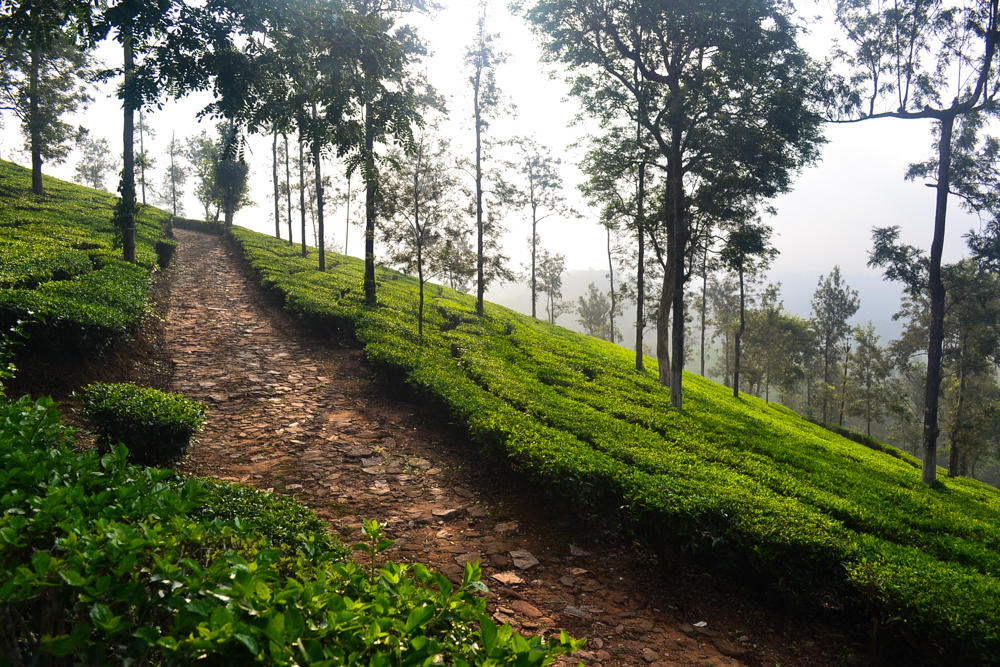 A morning walk in a tea plantation