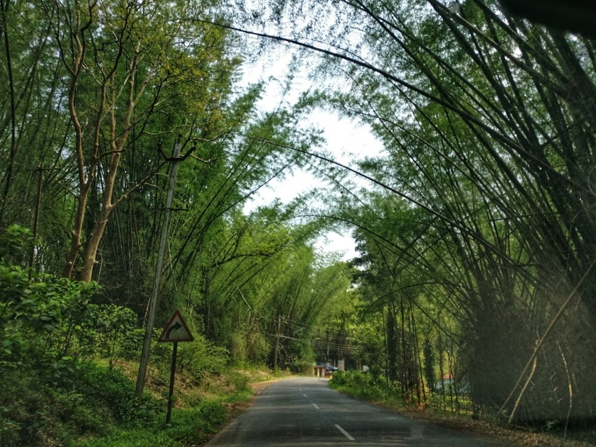 Bamboo groves in Gudalur